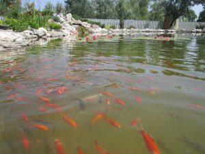 Искусственный пруд для рыб и купания. Искусственный пруд в Краснодаре