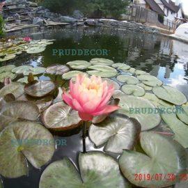 Фото прудов. Купальный пруд. Декоративные пруды